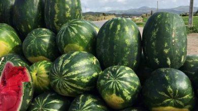 """صورة """"أونسا"""": بذور البطيخ الأحمر المستخدمة في زراعته بالمغرب غير معدلة جينيا"""
